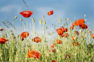 Close-up of fresh poppy flowers blooming on field against sky during sunny day - MJF02367