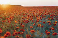 Scenic view of fresh poppy flowers blooming on field against sky during sunset - MJF02373
