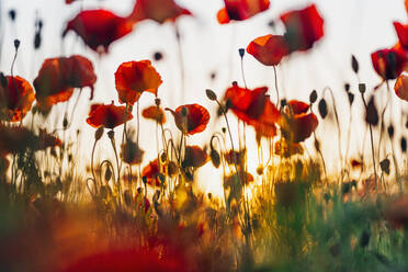 Close-up of fresh poppy flowers blooming against sky during sunset - MJF02379