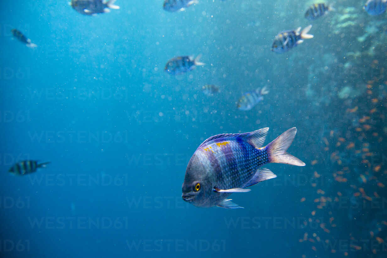 Indo-Pacific sergeant fish swimming underwater in red sea - NGF00514 - Nadine Ginzel/Westend61