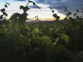 Plants on vineyard against sky during sunset - SBDF04005