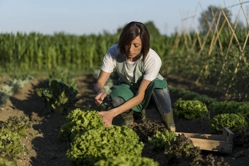 Woman working on her Vegetable Garden. Italy. - MAUF02675