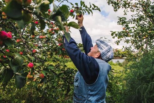 Caucasian farmer picking fruit from tree - BLEF10656