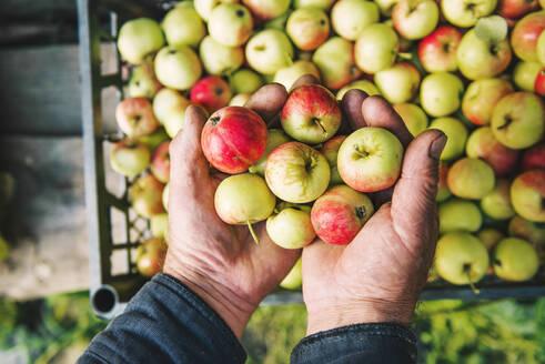 Farmer holding apples - BLEF10665