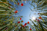 Worms eye view of poppies in a grain field, Bavaria, Germany - LHF00650
