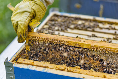 Beekeeper checking frame with honeybees - MGIF00619