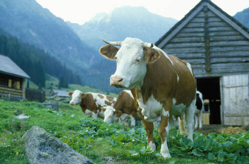 Cows grazing in farm field under remote mountains - BLEF12112