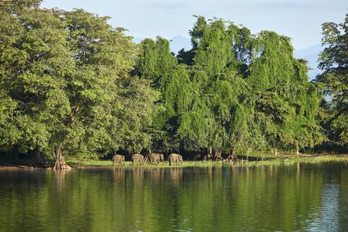 View to penisula at Udawalawe Reservoir with four young elephants, Udawalawa National Park, Sri Lanka - CVF01331