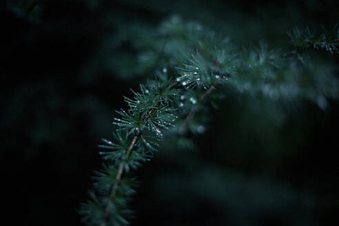 Close up of dew drops on evergreen tree branch - BLEF12646