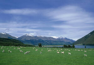Flock of sheep grazing in rural field - BLEF12664