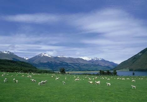 Flock of sheep grazing in rural field - BLEF12664