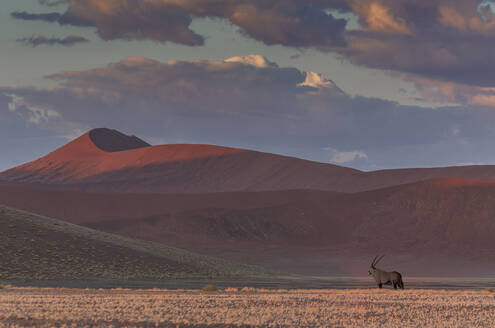 Animal grazing in remote desert landscape - BLEF12709