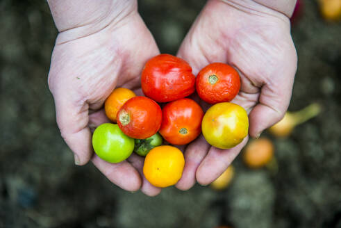 Close up of hands holding variety of tomatoes - BLEF13157