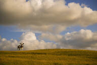 Cow standing on rolling hills in rural landscape - BLEF13205