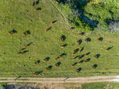 Aerial view of people leading herd of cattle in the pasture at Karditsa region, Greece - AAEF00594