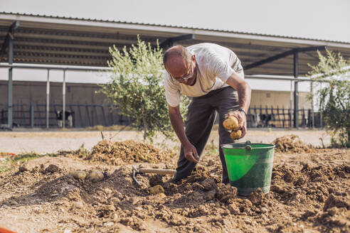 Man putting potatoes in a bucket in the field in a field, Lleida - ACPF00583
