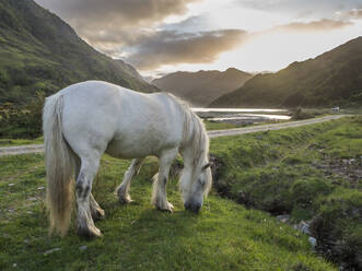 White horse standing on grassy land against cloudy sky at sunset, Scotland, UK - HUSF00060