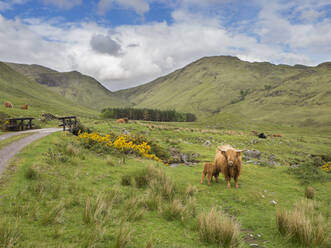 Highland cattle standing on grassy land against cloudy sky, Scotland, UK - HUSF00063