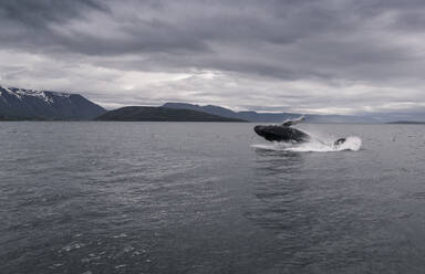 Humpback whale jumping in Eyjafjordur fjord, Iceland - UUF18798
