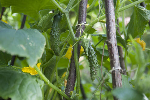 Close-up of Zucchinis growing on plants in garden - GISF00451