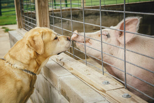 Dog and pig sniffing each other through fence - BLEF14302