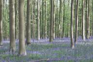 Bluebell flowers carpet in Hallerbos National park, Belgium - MOMF00745