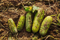 Close up of harvested cucumbers in dirt - BLEF14593