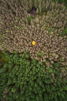 Aerial view of a lonely yellow tree in the middle of the pines forest in Estonia - AAEF02081