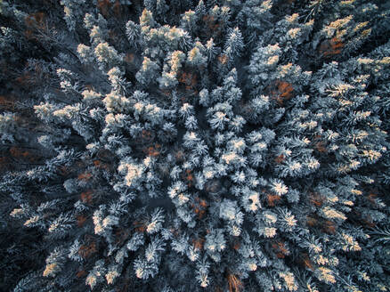 Aerial view of snowy forest during winter in Estonia. - AAEF02117