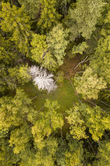 Aerial view of a dead white tree in the middle of a green pines forest in Estonia - AAEF02210