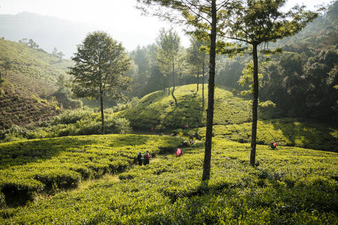 Tea estate, Nuwara Eliya, Central Province, Sri Lanka, Asia - RHPLF00685