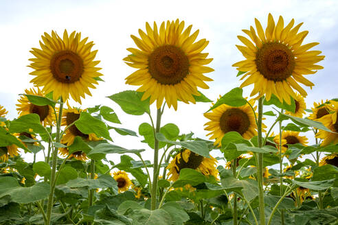 Low angle view of sunflowers in field at Wurzburg against sky - NDF00966
