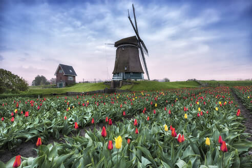 View of multi-coloured fields of tulips and windmills at spring, Berkmeer, Koggenland, North Holland, Netherlands, Europe - RHPLF01191