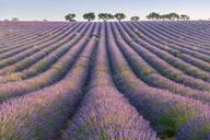 Lavender rows, Plateau de Valensole, Alpes-de-Haute-Provence, Provence-Alpes-Cote d'Azur, France, Europe - RHPLF01494