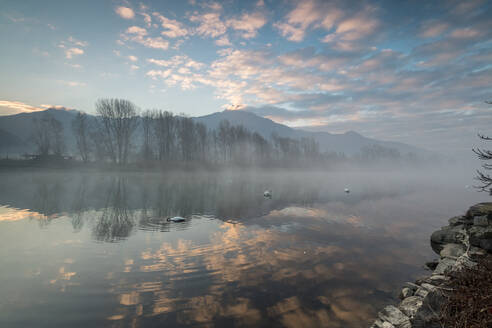 Swans in River Mera at sunrise, Sorico, Como province, Lower Valtellina, Lombardy, Italy, Europe - RHPLF02245