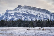 Winter landscape with wild elk in the Banff National Park, UNESCO World Heritage Site, Alberta, Canadian Rockies, Canada, North America - RHPLF02344