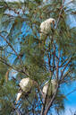 Goffin cockatoos in the trees at Cape Byron Bay, New South Wales, Australia, Pacific - RHPLF03402