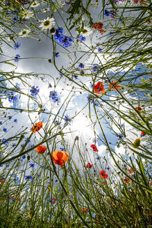 Poppies and cornflower, Umbria, Italy, Europe - RHPLF03877