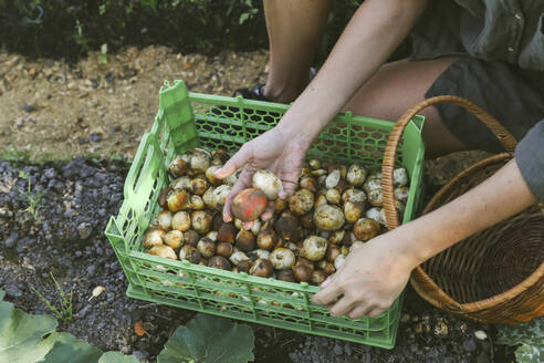 Close-up of woman harvesting onions in garden - KNTF03039