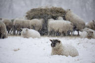 White sheep covered in snow lying down in snow and sheep eating hay, Burwash, East Sussex, England, United Kingdom, Europe - RHPLF04792