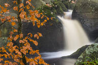 Common beech (Fagus sylvatica) tree and waterfall, Padley Gorge, Peak District, Derbyshire, England, United Kingdom, Europe - RHPLF05182