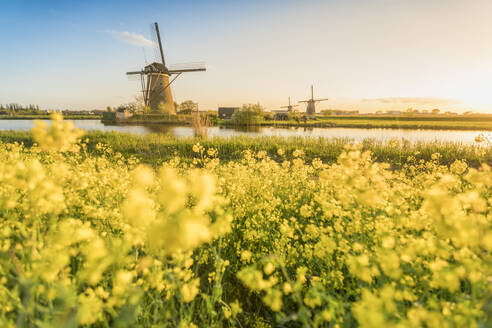 Golden light over the windmills with yellow flowers in the foreground, Kinderdijk, UNESCO World Heritage Site, Molenwaard municipality, South Holland province, Netherlands, Europe - RHPLF05221