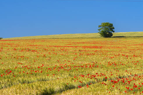 Poppies in poppy field, Cambridgeshire, England, United Kingdom, Europe - RHPLF05242