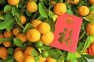 Chinese New Year kumquat trees with Lai See Red Envelopes, Hong Kong, China, Asia - RHPLF05326