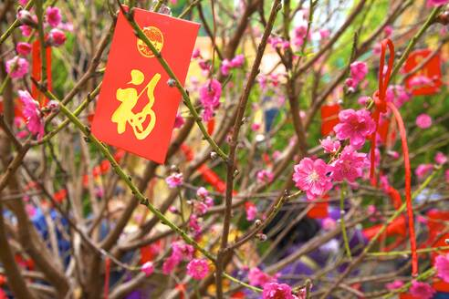 Cherry blossom trees with Lai See Red Envelopes for Chinese New Year, Hong Kong, China, Asia - RHPLF05332