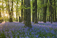 Bluebells cover a woodland floor during Spring in a small forest and catch the last rays of sun, Dorset, England, United Kingdom, Europe - RHPLF06301
