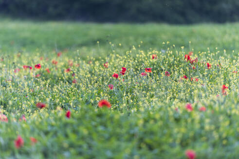 Poppies blooming in the fields, Umbertide, Umbria, Italy, Europe - RHPLF07585