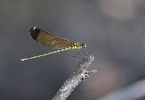 Close-up of damselfly on twig, Corsica, France - ZCF00792