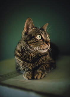 Portrait of tabby cat watching something - RAEF02276