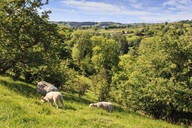 Sheep and lambs above Lathkill Dale, view to Youlgreave (Youlgrave), spring, Peak District National Park, Derbyshire, England, United Kingdom, Europe - RHPLF07649